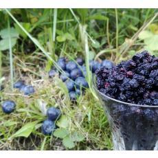 Bio Heidelbeeren getrocknet, Wildwuchs in Rohkostqualität