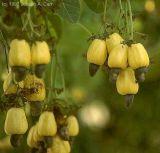 Bio halbe Cashewkerne in Premium-Rohkostqualität
